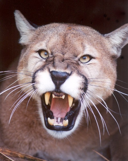 Cougar Growl.jpg